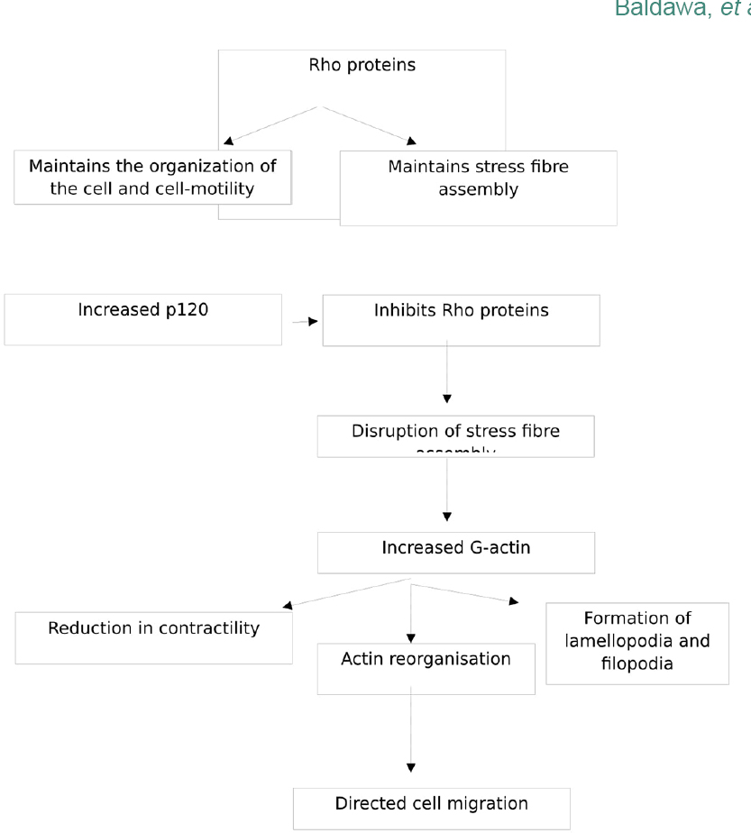 Figure 2: Flowchart depicting role of Rho proteins in cell migration