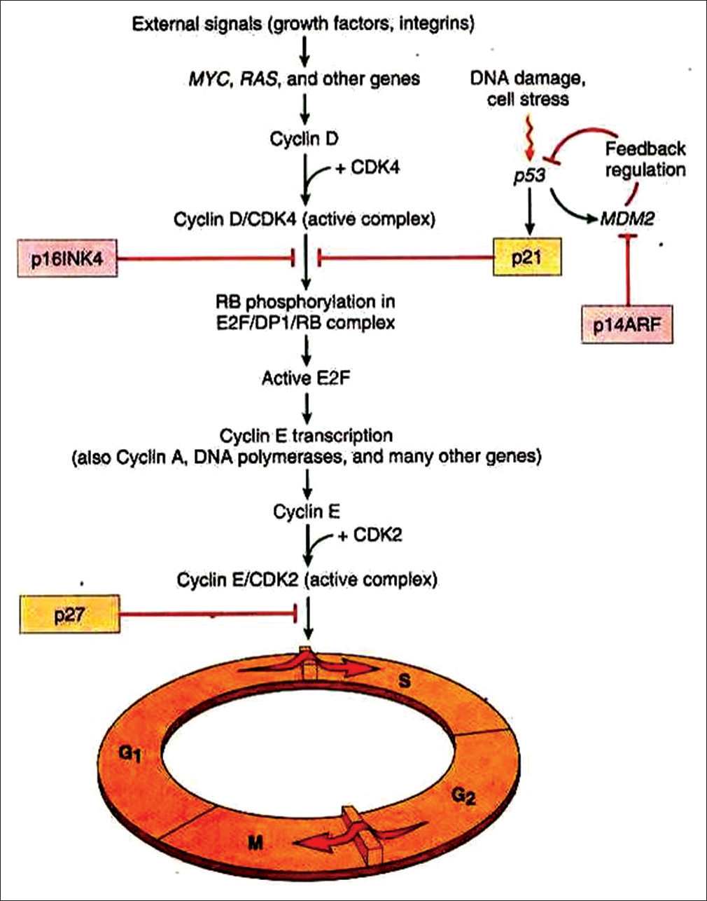 Figure 1: Role of cyclin D1 in the control of cell cycle